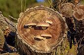 Destructive Pholiota (Pholiota destruens) on Logs of Poplar, Haute Savoie, France