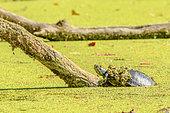Red-eared Pond Slider (Pseudemys scripta elegans) Taking a sun bath, Chautagne, Savoie, France