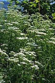 Yarrow in bloom in a wild garden
