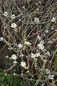 Hoary alyssum (Berteroa incana) in bloom in a wild garden
