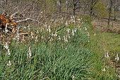 Asphodèles blancs en fleur dans un jardin