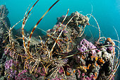 Group of Common Spiny Lobsters (Palinurus elephas) on the coralligenous reef (Protected Marine Area of the Agathois coast, Hérault, France, Mediterranean Sea