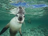 Australian sea lion, Neophoca cinerea, Pinipedia, Western Australia