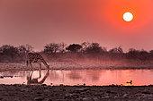 Girafe (Giraffa Camelopardalis ) buvant au point d'eau au lever du soleil ,Namibie, Etosha national parc /Giraffe (Giraffa Camelopardalis) drinking at the waterhole at sunrise , Namibia, Etosha national park