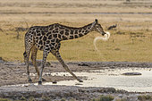 Giraffe (Giraffa camelopardalis) drinking, Namibia, Etosha national park