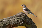 Chaffinch (Fringilla coelebs) Male perched on a tree tronc, England, Spring