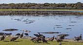 Vautours noirs (Coragyps atratus) et Alligators américains (Alligator mississippiensis), se nourrissant de poissons mort en masse suite à un front froid, doline Deep Hole, Myakka River State Park, Floride, USA