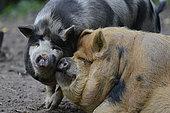 Kunekune (Sus scrofa domesticus) pig originating in New Zealand, Northern Vosges Regional Nature Park, France