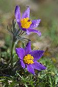 Pasque flower (Pulsatila vulgaris) flowers, Regional Nature Park of the Vosges du Nord, France