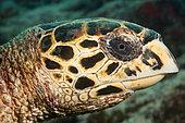 Head of Hawksbill Sea Turtle (Eretmochelys imbricata), Felidhu Atoll, Maldives