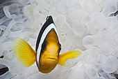 Clarks Anemonefish, Amphiprion clarkii, Felidhu Atoll, Maldives