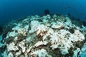 Bleached Corals on Reef Top, Felidhu Atoll, Maldives