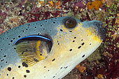 Blackspotted Puffer (Arothron nigropunctatus) and Cleaner Wrasse (Labroides dimidiatus), South Male Atoll, Maldives
