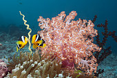 Clarks Anemonefish (Amphiprion clarkii), South Male Atoll, Maldives