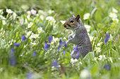 Gray squirrel (Sciurus carolinensis) Grey squirrel amongst floqers, England , Spring