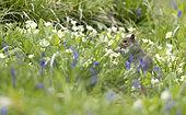 Grey squirrel (Sciurus carolinensis) Squirrel feeding amongst flowers,England, Spring