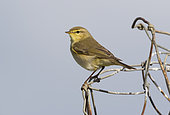 Willow warbler (Phylloscopus trochilus) Warbler perched on a wire, England, Spring