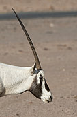 Arabian oryx (Oryx leucoryx), side portrait (unicorn), Mahazat as-Sayd, Najd Plateau, Saudi Arabia