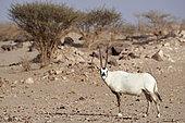 Arabian oryx (Oryx leucoryx), Mahazat as-Sayd, Najd Plateau, Saudi Arabia
