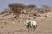 Pair of Arabian oryx (Oryx leucoryx), Mahazat as-Sayd, Najd Plateau, Saudi Arabia