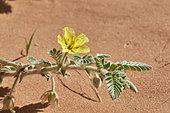 Wild flower (Tribulus arabicus), 'Uruq Bani Ma'arid, Empty Quarter, Saudi Arabia