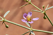 Wild flower (Fagonia indica), 'Uruq Bani Ma'arid, Empty Quarter, Saudi Arabia