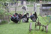 Bronze turkeys, Sainte Croix park, Lorraine, france