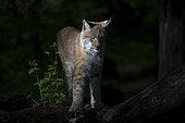 Eurasian lynx (Lynx lynx), Sainte Croix Park, Lorraine, France