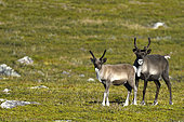 Reindeer (Rangifer tarandus) female and young in the tundra, Kiruna, Lapland, Sweden