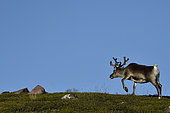 Reindeer (Rangifer tarandus) in the tundra, Kiruna, Lapland, Sweden