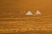 Camp and domestic Reindeer (Rangifer tarandus), During a summer equestrian hike in the Kiruna region, Lapland, Sweden