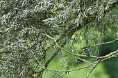 Common Kingfisher (Alcedo atthis) on the lookout in a willow on a secondary arm of the Loire, France