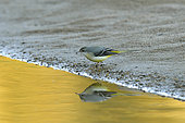 Grey Wagtail (Motacilla cinerea) feeding on the banks of the Loire at the end of the day, France