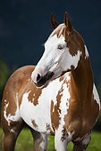 Sorrel Overo Paint Horse with a blue eye