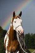 Sorrel Overo Paint Horse with rope holster against rainbow