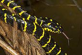 Philippines, Palawan, Roxas, mangrove snake (Boiga dendrophila) in Mendoza area