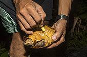 Tortue forestière des Philippines en danger d'extinction (Siebenrockiella leytensis) marquée lors d'une évaluation rapide de la biodiversité dans la région de Mendoza, Roxas, Palawan, Philippines