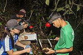 Philippines, Palawan, Roxas, Mendoza, Katala Foundation team measuring a critically endangered Palawan forest turtle (Siebenrockiella leytensis) during a Rapid Biodiversity Assessment in Mendoza area