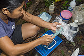 Philippines, Palawan, Roxas, Mendoza, Katala Foundation team measuring frogs during a Rapid Biodiversity Assessment in Mendoza area