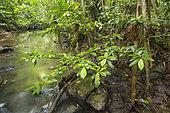 Ecosystème de la tortue forestière des Philippines en danger d'extinction (Siebenrockiella leytensis) lors d'une évaluation rapide de la biodiversité dans la région de Mendoza, Roxas, Palawan, Philippines
