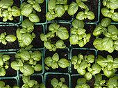 """Les jardins de Théia"" Culture BIO de plants Basilic grand vert sous serre dans le Jura."