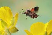 Striped Shield Bug (Graphosoma lineatum) in flight