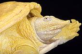 Asiatic softshell turtle, Amyda cartilaginea, albino