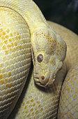 Carpet python (Morelia spilota variegata), Albino, Darwin, Australia