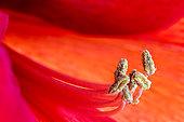 Amaryllis flower stamens
