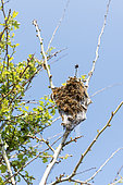 Nest of Brown-tail Moth (Euproctis chrysorrhoea) caterpillars in spring, Manche, Normandy, France