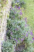 Hoary stock in bloom in a garden