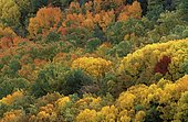 Autumnal forest in Pyrenees Lerida Catalonia Spain