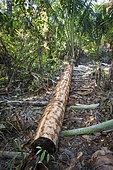 Sagoutier (Metroxylon sagu) cut down with an ax to feed pigs, Pulau Siberut, Sumatra, Indonesia