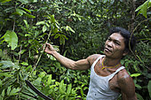 Man picking up the creepers of the rotang palm (calamus rotang) in order to transform it into a rattan, Pulau Siberut, Sumatra, Indonesia